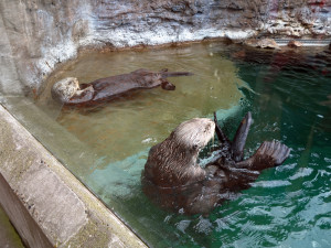 Otters at Seattle Aquarium