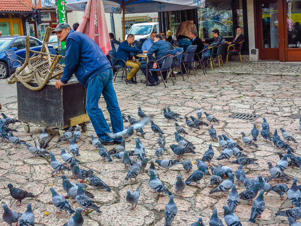 Pigeon Pied Piper